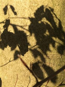 Blätterschatten (Individuell)